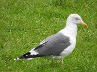 A gull 2.JPG