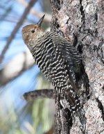 Woodpecker small.jpg