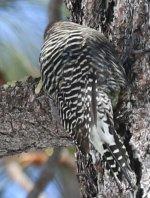Woodpecker2 small.jpg