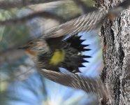 Woodpecker3 small.jpg