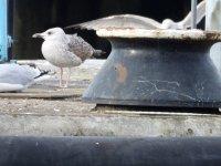 A Caspian Gull 2.JPG