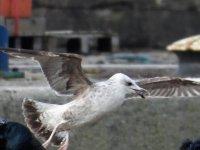 A Caspian Gull 5.JPG