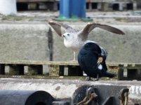 A Caspian Gull 6.JPG