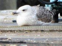 Caspian Gull 1.JPG
