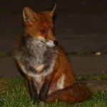 20210318 (9)_Red_Fox.jpg