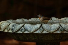 Blue-throated Flycatcher fem.jpeg