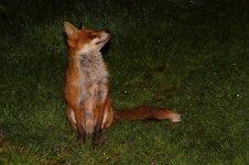 20210326 (2)_Red_Fox.jpg