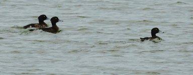 DSC09822 Tufted Duck @ San Tin.jpg