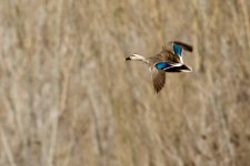 Eastern Spot-Billed Duck.jpeg