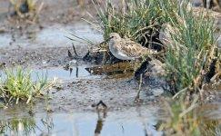 Shorebird-A.jpg