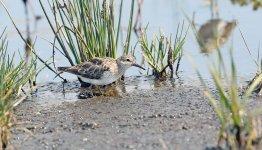 Shorebird-B.jpg