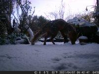 WILD 21,4,7 fox in the snow 6.JPG
