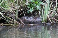 otter (10).jpg