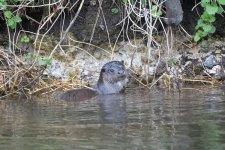 Otter (2).jpg