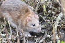 Brown rat (2).JPG