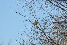 WALK 21,4,17 willow warbler - Phylloscopus sibilatrix, Forest Lane, harbour+St F's 1.JPG