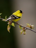 American Goldfinch 6.jpg