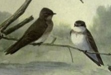rough winged swallows.jpg