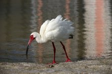 White Ibis 1.jpg