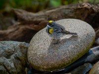 Myrtle Warbler 1.jpg