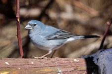 Blue-Chaffinch-(28)-fbook.jpg
