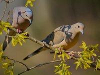 Mourning Dove 6.jpg