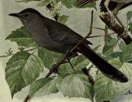 catbird, gray.jpg