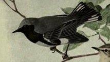 Black throated blue wing.jpg