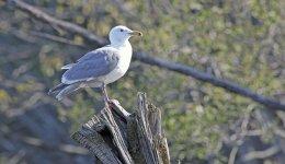 Washington Gull.jpg