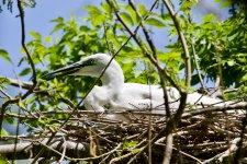 Great Egret (1).jpeg