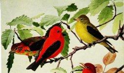 Scarlet Tananger.jpg