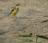DSC00044 Eastern Yellow Wagtail @ San Tin.jpg