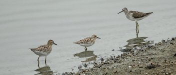 DSC00757 Sharp-tailed, and Wood Sandpipers + Long-toed Stint @ San Tin.jpg