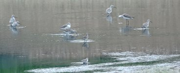 DSC00746 Marsh and Wood Sandpipers + Red-necked Stint @ San Tin.jpg