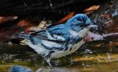 cDSC06398 - Cerulean Warbler, male (1280x792).jpg