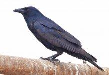 aDSC06166 - Tamaulipas Crow (1280x877).jpg