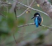 DSC09590 Common Kingfisher @ San Tin.jpg