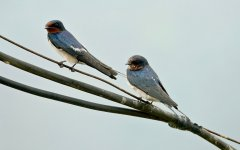 DSC00691 Barn Swallow @ San Tin.jpg