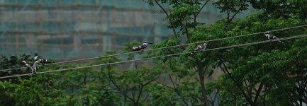 DSC00742 Pied Kingfishers @ San Tin.jpg
