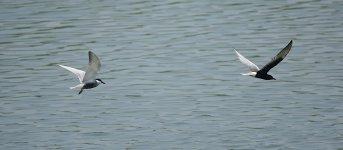 DSC00899 Whiskered and White-winged Terns @ San Tin.jpg