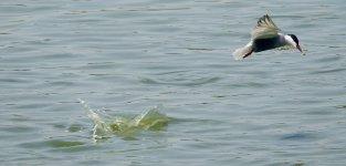 DSC00956 Whiskered Tern @ San Tin.jpg
