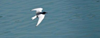 DSC00986 White-winged Tern @ San Tin.jpg