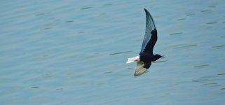DSC00987 White-winged Tern @ San Tin.jpg