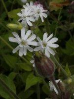 Silene latifolia (White Campion)  01 (small).jpg