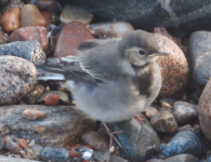 WALK 21,6,10 wagtail fledgling >harbour>St F's 38 screen shot 1.png