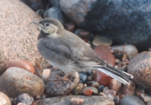WALK 21,6,10 wagtail fledgling >harbour>St F's 38 screen shot 3.png