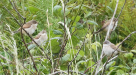 WALK 21,6,27 whitethroats >harbour>St F's with S 1.png