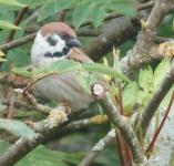 TRIP 21,7,3 tree sparrow - Passer montanus, foggy Montrose Basin Wildlife Reserve 29-32 screen...png