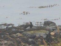 TRIP 21,7,3 Lapwing, Vanellus vanellus, foggy Montrose Basin Wildlife Reserve 6.JPG