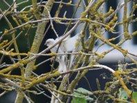 White sparrow landing.jpg